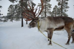 reindeer-in-snow-1007618-m