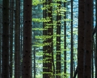 sunset-in-spruce-forest-1424363-m